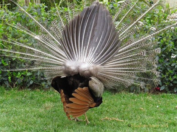 (Did you ever see this view of a peacock?)