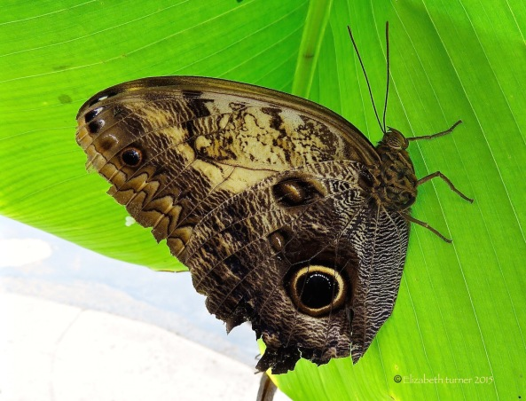 Ah!! Mr. A.N Owl Butterfly, how that green suits you!