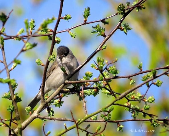 Blackcap on a hawthorn tree.