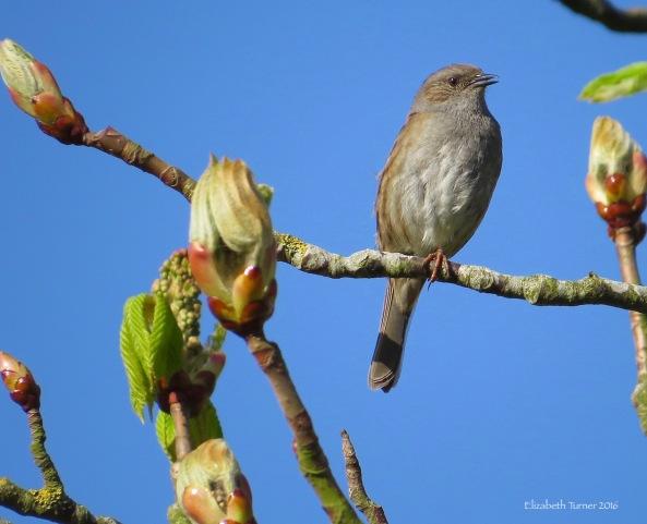 Dunnock on a Horse Chestnut Tree (conker)
