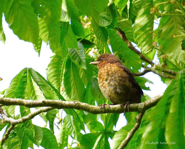 Baby Blackbird on a Horse Chestnut tree.
