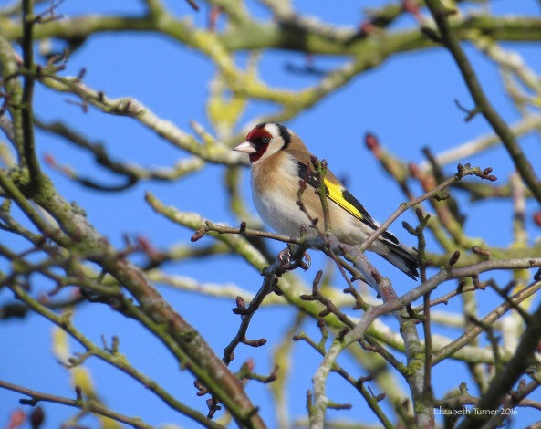 Gareth Goldfinch knew that this beautiful blue sky would enhance his wonderful feathers.....