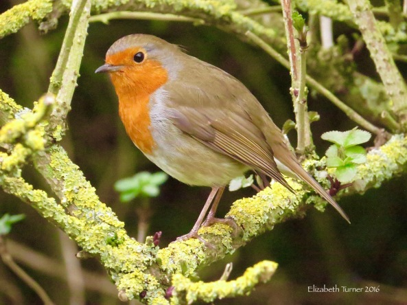 Robina Robin
