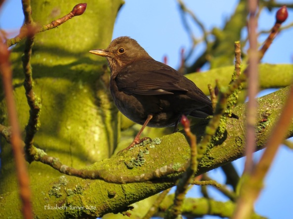 Lady Blackbird