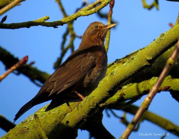 Lady Blackbird looking a tad wistful!